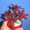 bordó virág