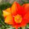 tulipán közelről