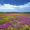 Virágmezők (13)