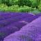 Virágmezők (18)