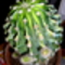 kaktusza 002