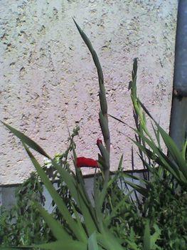 Kardvirág most bontakozik a piros
