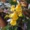 Oncidium /orchidea/