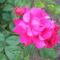 Nyíló rózsa