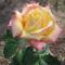 Nyíló rózsaszál