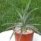 Ananászom
