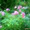 Rózsák vegyesen