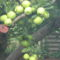 érdemes volt megújítani az almafát