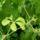 Gynostemma_pentaphyllum_328296_41989_t