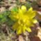 tavaszi hérics-Adoniszvirág