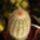 Echinocereus__idei_szaporitas_320428_47171_t