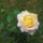 Rontóné Anikó virágai