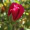 Csodás rózsa