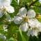 Gyümölcsfák (12)