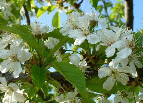 Gyümölcsfák (14)