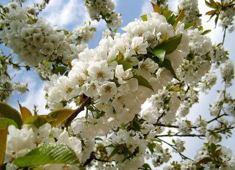 Gyümölcsfák (33)
