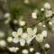 Gyümölcsfák (52)