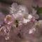 Gyümölcsfák (75)
