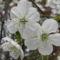 Meggyfa virága (4)