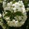 Meggyfa virága (6)