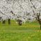 Virágzó fák 15