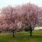 Virágzó fák 8