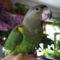 Barnus papagáj (Barnafejű)
