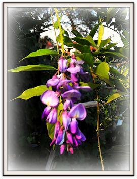 Kinai   akác..../szép  virágok/
