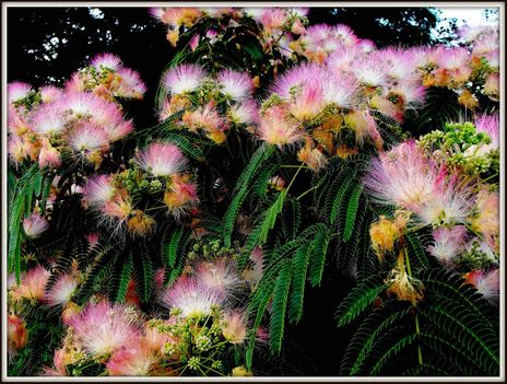 Selyemakác ....../csodás   virágok/