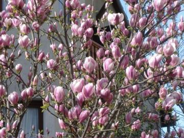 Magnolia/tulipán fa/