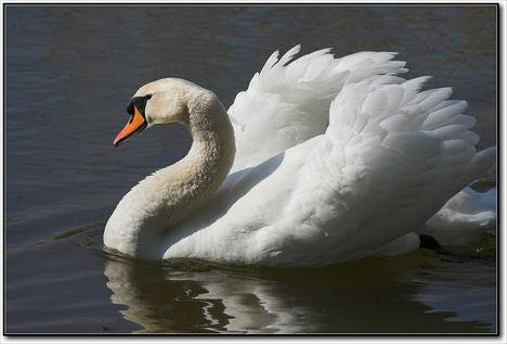Fehér hattyú