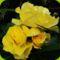 Hajni rózsái. 13
