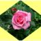 Hajni rózsái. 3