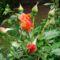 Hajni rózsái. 4