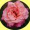 Hajni rózsái. 7