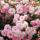 Sárvári Gyuláné - rózsák