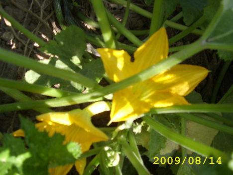 Cukkini - Cucurbita pepo zucchini