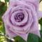 aa kedvenc lila rózsám újból virágzik