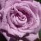 lila rózsa locsolás után