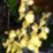 Oncidium orchidea teljes pompával