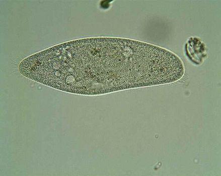 Papucsállatka (Paramecium caudatum)