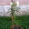 oleander (fehér)