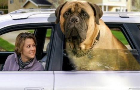 big_masztiff_zorba 143 kg