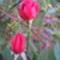 Őszi rózsaszálak