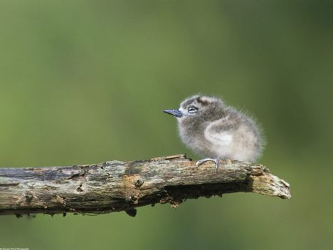 Fairy_Tern,_Midway_Island