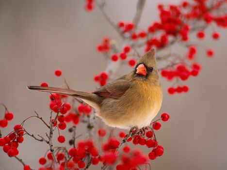 Female_Northern_Cardinal_Among_Hawthorn_Berries