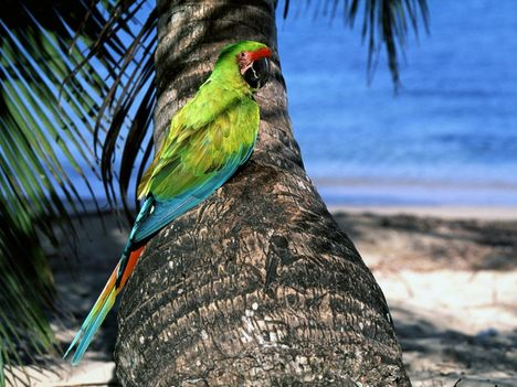 Great_Green_Macaw