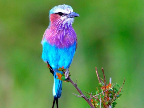 Lilac_Breasted_Roller,_Africa