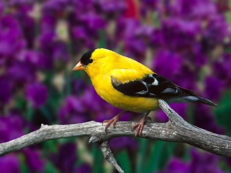 Male_American_Goldfinch