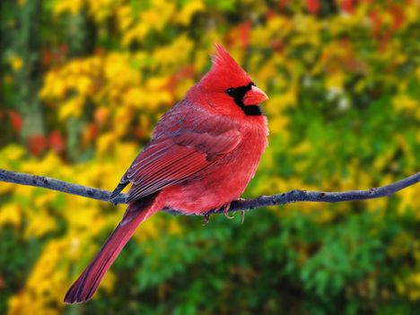Male_Northern_Cardinal